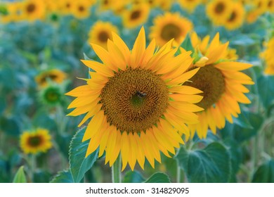 Sunflower field in Provence, France