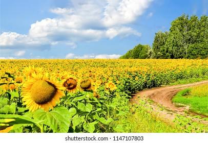 Sunflower field road landscape. Sunflower field road panorama. Sunflower field road in sunny day view