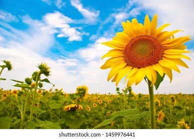 sunflower in a field with sky