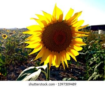 Sunflower field in Slovakia countryside