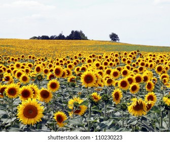 Sunflower field in Southern France
