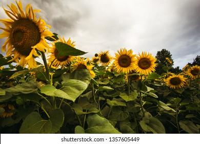 Sunflower field in the summer background blue sky - Shutterstock ID 1357605449