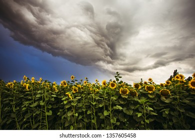 Sunflower field in the summer background blue sky - Shutterstock ID 1357605458