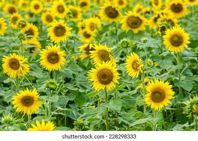 Sunflower in a field in a summer  daylight