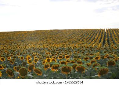 Terrain de tournesol en paysage estival