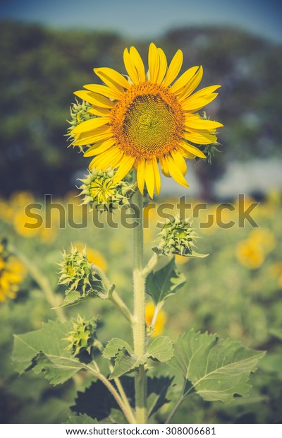 Sunflower in a field in summer (Vintage filter used)