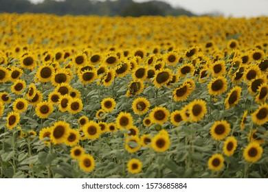 sunflower field sunflowers facing no sky