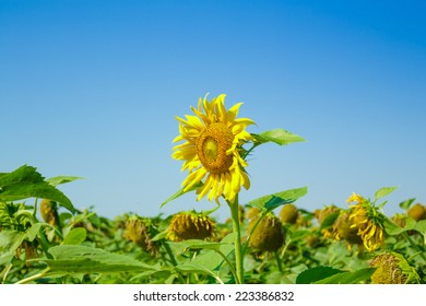 Sunflower in field of sunflowers on a sunny day