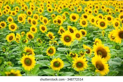 Sunflower field in sunlight.