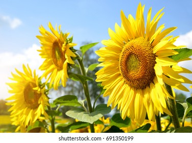Sunflower field in sunny day.