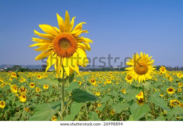 Sunflower field in sunny day