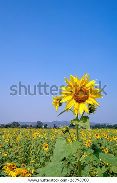 Sunflower field in sunny day