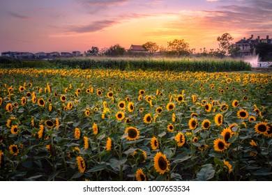 Sunflower Field, Tainan, Taiwan.