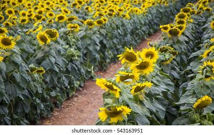 Sunflower field of TH true milk factory in Nghia Dan, Nghe An, Vietnam