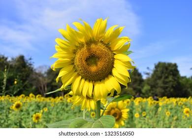 Sunflower field Thailand