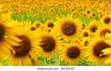 sunflower field in Thailand