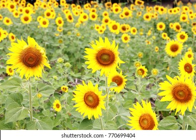 Sunflower field for tourism in Thailand.