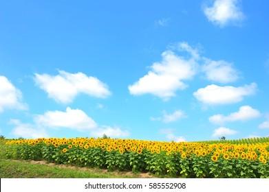 Sunflower Field Under The Blue Sky