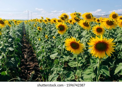 Sunflower field and the walking path