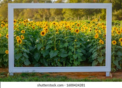Sunflower field with white Frame for taking framed shots