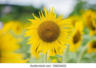 Sunflower field yellow color in full bloom