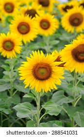 Sunflower fields in the countryside