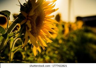 Sunflower fields. Field of gold. Golden hour.