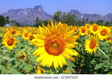 The sunflower fields in Lopburi only blooms end of the year (November – January) in Lopburi, 149 kilometers away from Bangkok, Thailand.