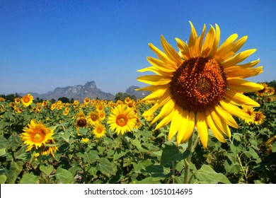 The sunflower fields in Lopburi, Thailand. It only blooms end of the year (November – January) in Lopburi, a province that's 3 hours away by train from the capital of Bangkok