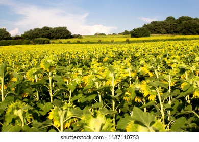Sunflower fields on a sunny day