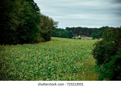 Sunflower fields, Pressignac-Viqc, France