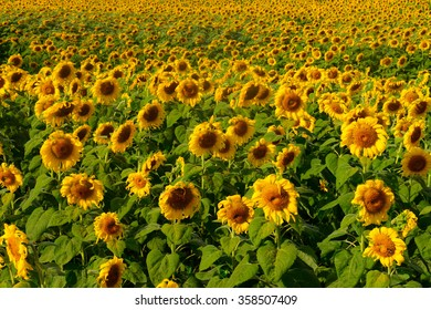 Sunflower fields in season in Thailand