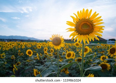Sunflower Fields in the Summertime