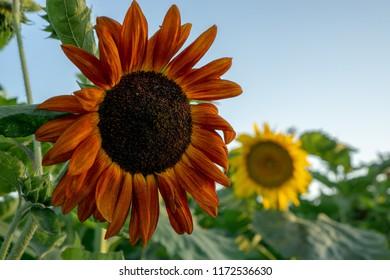 Sunflower fields at sunset