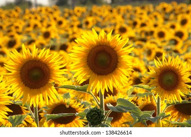 sunflower fields in the Tuscan Italian landscapes