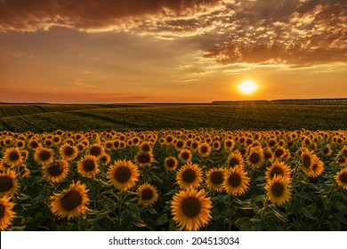 Sunflower fields in warm evening light