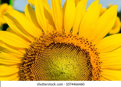 SunFlower Fields,Kansas, Sunflower, Field, Farm, Flower