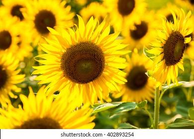 Sunflower in filed