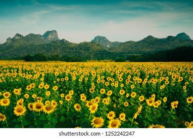 Sunflower fileds in Lop Buri, Thailand