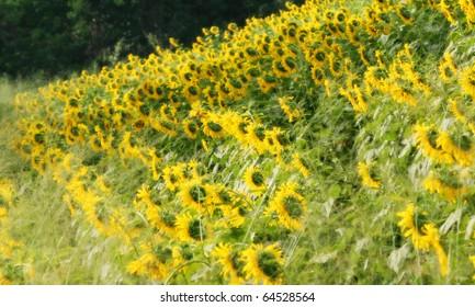 Sunflower Flied in Thailand