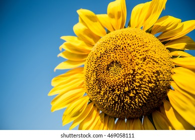 sunflower, flower