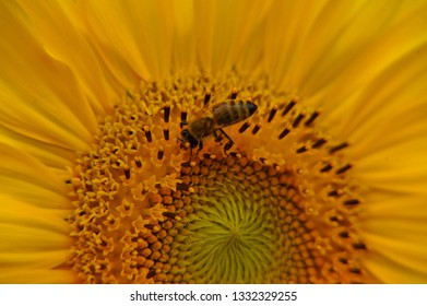 sunflower flower with a bee