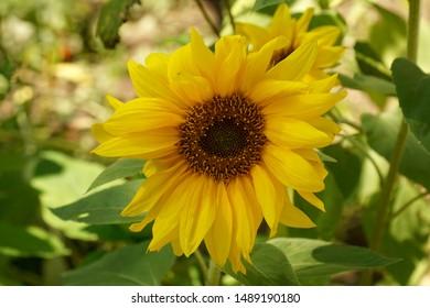 Sunflower flower closeup lit by the sun.