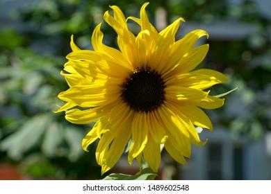 Sunflower flower in the garden on a sunny day.