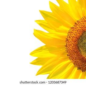 Sunflower flower half on a white background