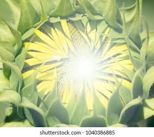 Sunflower flower Light Effects