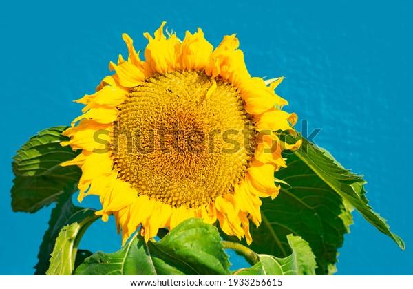 Sunflower flower on blue background