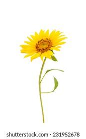 Sunflower flower on a white background