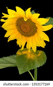 Sunflower flower and pollen Isolated on a black background