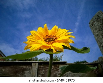 A sunflower flowering next to brown fence growing in full sun